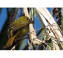 Summer Tanager ~ Female Photographic Print