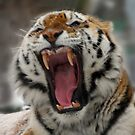 A Russian Tiger in Canada by John44