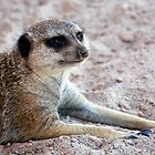 Mr. Meerkat by Ray Chiarello