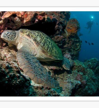 Green Turtle, Bunaken National Marine Park, Indonesia Sticker