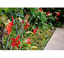 Red Tulips in a Garden Bed Photographic Print