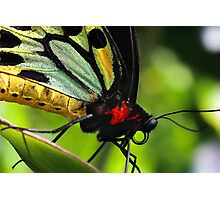 Cairns Birdwing Photographic Print