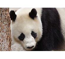Giant Panda  Photographic Print