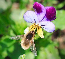 Notolomatia pictipennis by Ann  Palframan