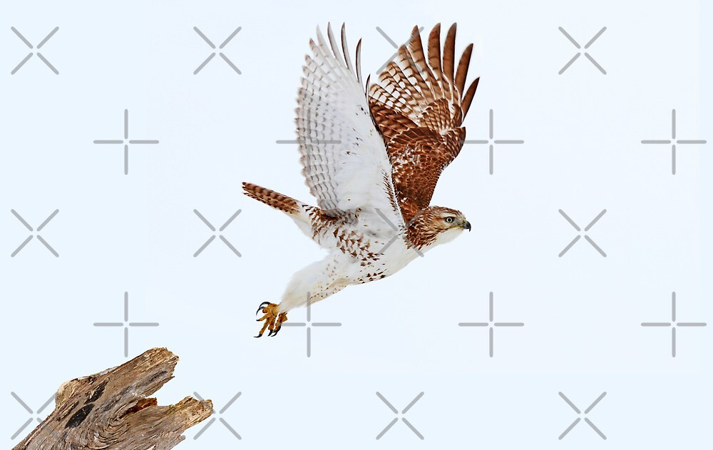 Red-tailed Hawk - Composite 3 by Jim Cumming