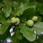 Acorns and Leaves by James Taylor