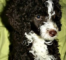 Miniature Poodle - Jack by Eileen O'Rourke