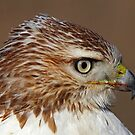 Red-tailed Hawk Portrait by Jim Cumming