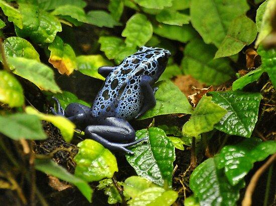 Poison Dart Frog by Dorothy Thomson