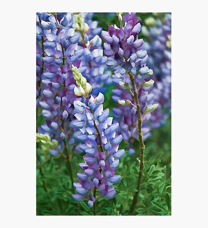 Dancing Lupines - Spring In Central California Photographic Print