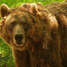 Brown Bear by sbarnesphotos