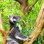 Cute Koala by Kerry  Hill