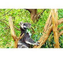 Cute Koala Photographic Print