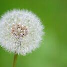 Dandelion seed head by HollyRuthven