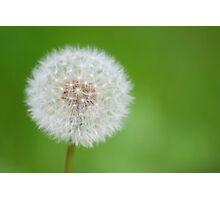 Dandelion seed head Photographic Print