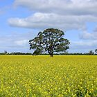 Canola Field by RobsVisions
