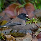 Oregon Junco - Stanley Park, Vancouver, British Columbia by Stephen Stephen