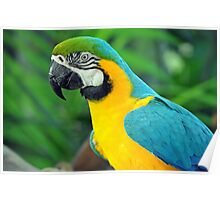 Blue & Yellow Macaw, Singapore. (2) Poster