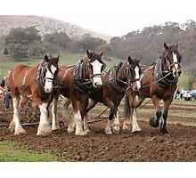 Draught horses ploughing at Granya, North East Victoria Photographic Print