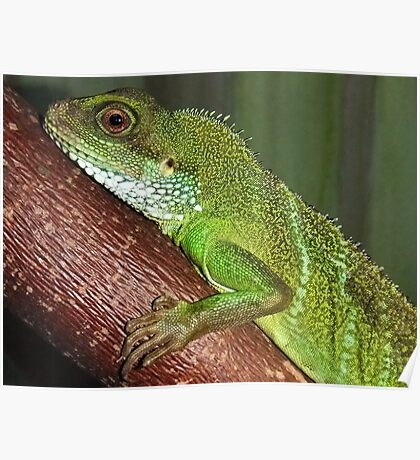 Chinese Water Dragon (Physignathus cocincinus) Poster