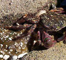 Shore Crab by Jordan Selha