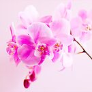 Orchid in Shades of Pastel  by DIANE  FIFIELD