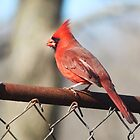 Cardinal On Fence by SusieG