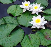 Three white water lilies by woodnimages