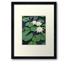 Three white water lilies Framed Print