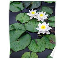 Three white water lilies Poster