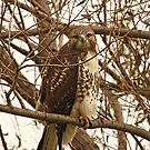 Red-Tailed Hawk Looking Right at Me by Thomas Murphy