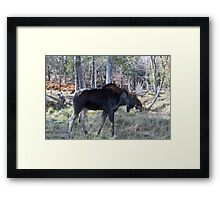 Male moose in the woods Framed Print