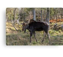 Moose in the fall woods Canvas Print
