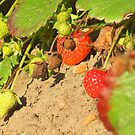 Strawberry field 2 by chaucheong