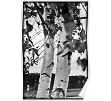 B&W Birch Tree Poster