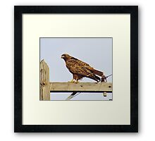 Red Tailed Hawk #2 Framed Print