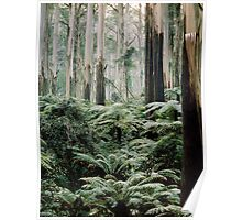 Mountain Ash and Tree Ferns, Sherbrooke Forest. Poster