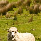 Sheep. by Anne Scantlebury