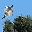 Red-tailed Hawk Landing on a Pine Tree by Bill McMullen