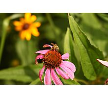 Echinacea with Bee 8670 Photographic Print