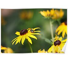 Black Eyed Susan with Beetle 8624 Poster