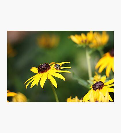 Black Eyed Susan with Beetle 8624 Photographic Print