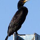 Cormorant by kibishipaul