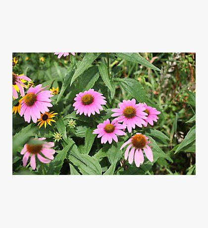 Echinacea 8679 Photographic Print