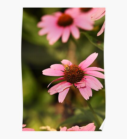 Echinacea with Bee 8674 Poster