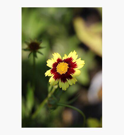 Calliopsis 6775 Photographic Print