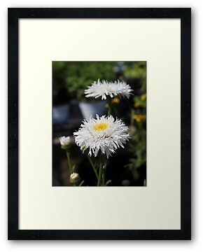 Chrysanthemum 6777 by Thomas Murphy