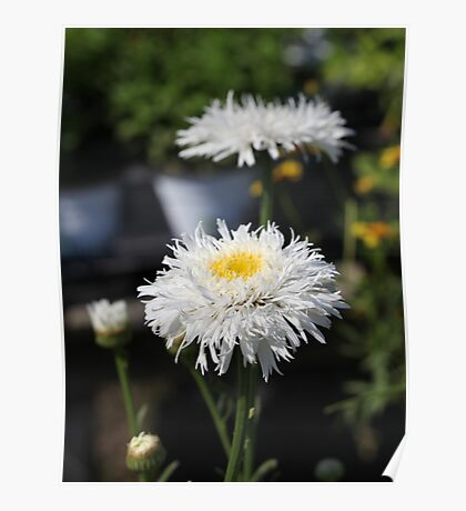 Chrysanthemum 6777 Poster