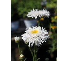 Chrysanthemum 6777 Photographic Print