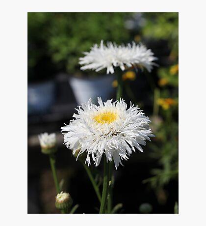 Chrysanthemum 6777 Photographic Print
